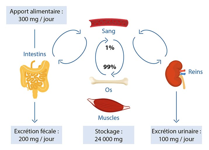 Homeostasie magnésium nutrixeal-info