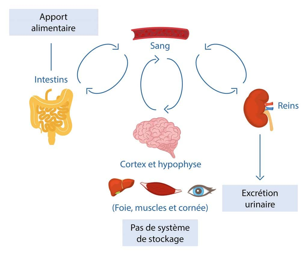schéma regulation vitamine C Nutrixeal Info
