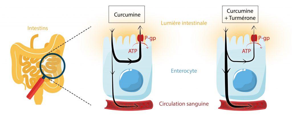 Transporteur ABC assimilation curcumine turmérone Nutrixeal Info