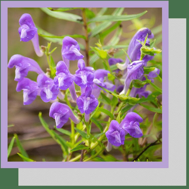 Scutellaria baicalensis index nutraceutique nutrixeal info