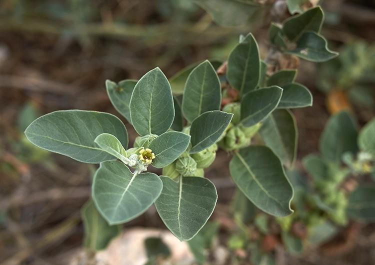Ashwagandha plante adaptogène ayurvédique