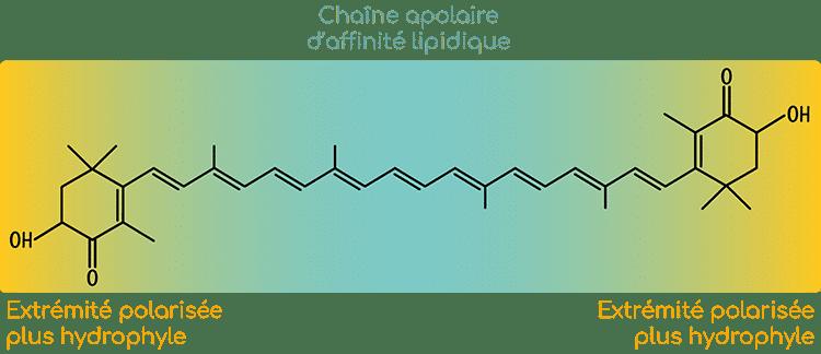 Astaxanthine structure et polarité