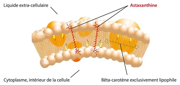 astaxantine et membrane lipidique
