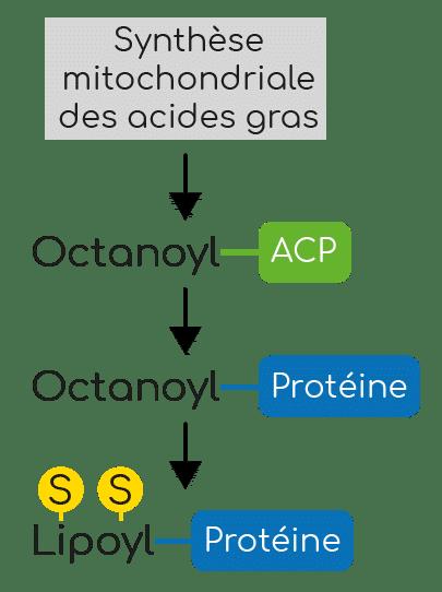 Biosynthèse de l'acide alpha-lipoïque.
