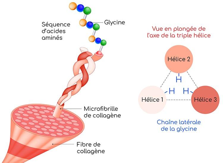 Glycine : structure secondaire et quaternaire du collagène.