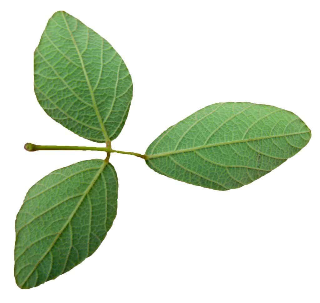 feuilles desmodium adscendens