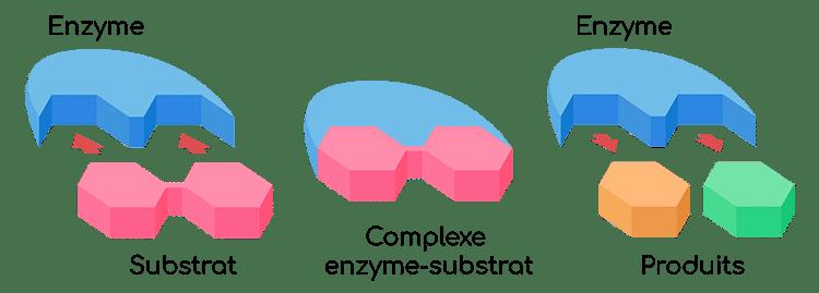 Mécanisme d'action des enzymes protéolytiques telles que la bromélaïne