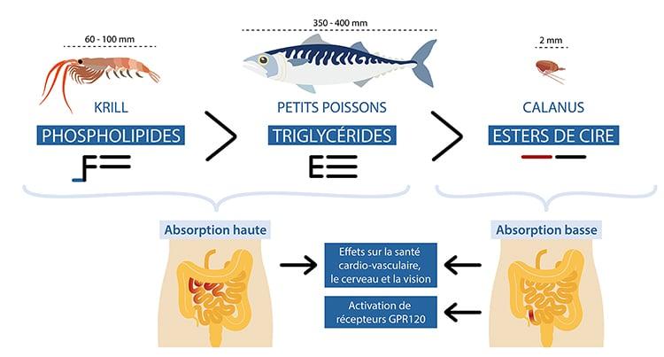 L'huile de Calanus contient des omega-3 absorbés plus lentement et pouvant ainsi atteindre l'intestin distal.