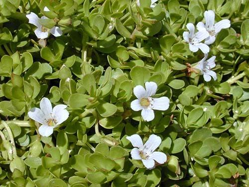 L'extrait de Bacopa monnieri Nutrixeal est standardisé en bacosides et garantit sans HAP.