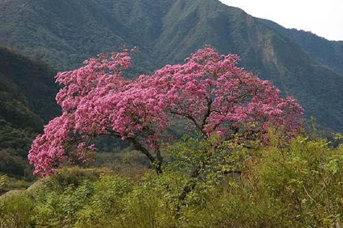 Lapacho ou Pau d'arco, l'arbre d'Amazonie dont  l'écorce défie les champignons