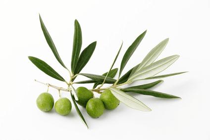 Feuille d'olivier, source de polyphénols