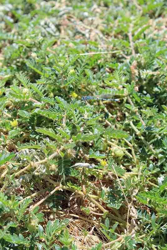 Tribulus terrestris plante sauvage