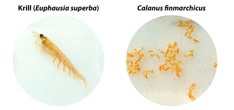 Le krill est beaucoup plus gros que le Calanus.