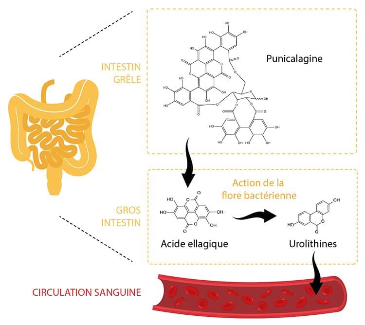 Métabolisme punicalagine urolithines