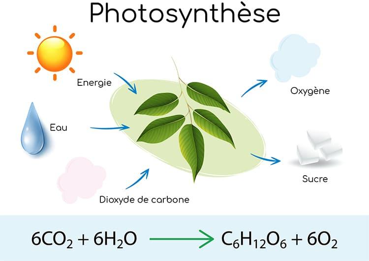 La chlorophylle intervient dans la photosynthèse.