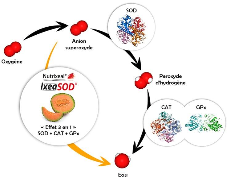 Action de la superoxyde dismutase Nutrixeal, IxeaSOD.