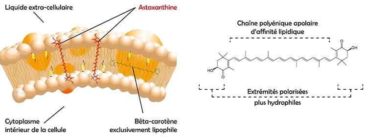 structure moleculaire astaxanthine et position dans la membrane cellulaire.