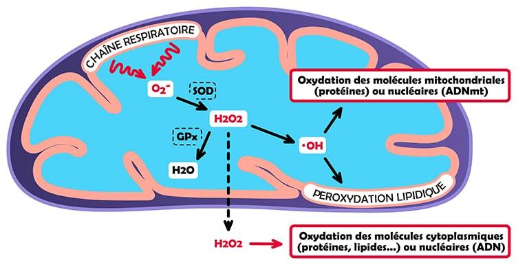 La chaîne respiratoire dans les mitochondries produit un stress oxydant endogène.