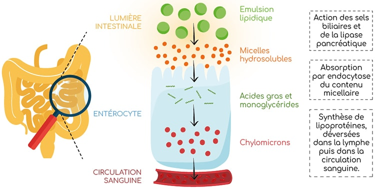metabolismes des lipides micelles et liposomes