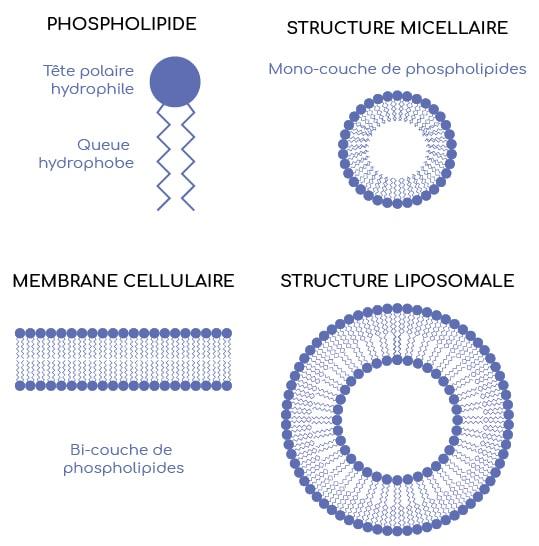 Les phospholipides sont les constituants des membranes cellulaires et des parois des liposomes.
