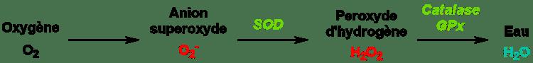 superoxyde_dismutase_sod_action_enzymatique_nutrixeal_sport_info