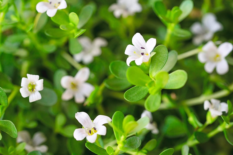 Fleurs de Bacopa Monnieri