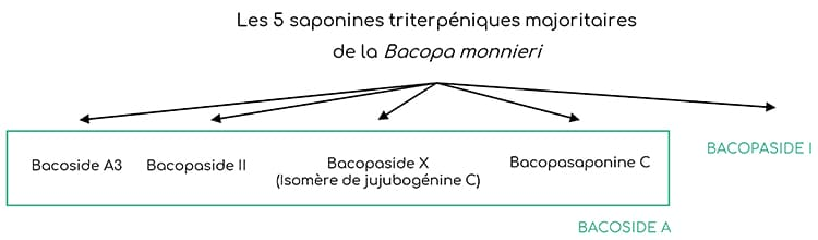 Bacosides majoritaires de la Bacopa monnieri