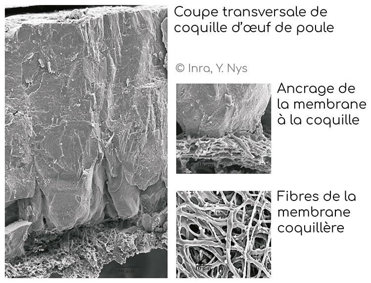 Structure fibreuse de la membrane d'œuf
