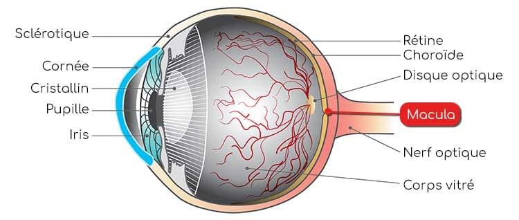 Structure de l'oeil et macula : luteine et zeaxanthine