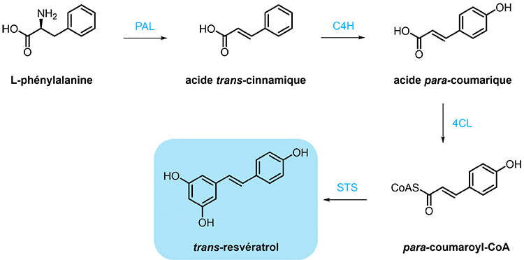 biosynthese du trans-resveratrol nutrixeal info
