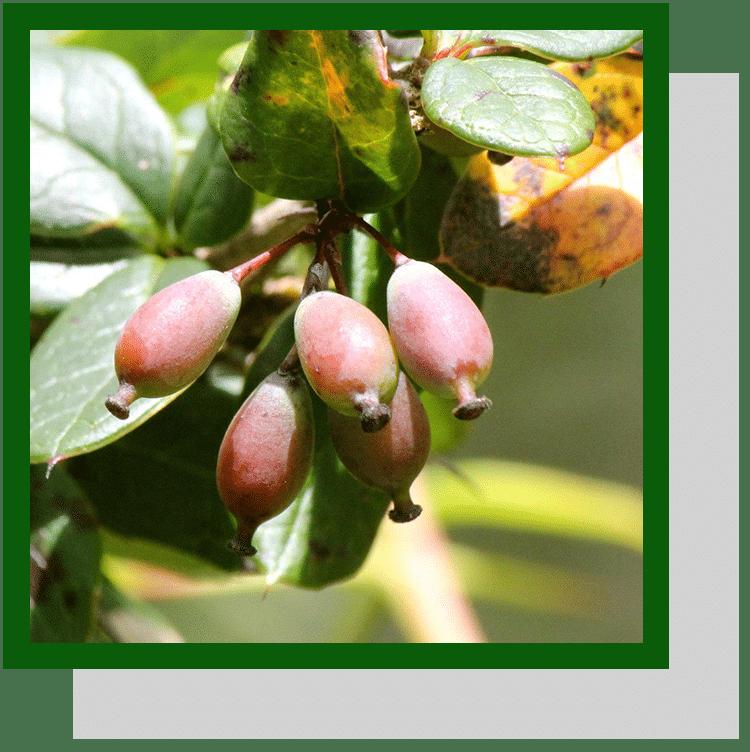 berberis aristata  index nutraceutique nutrixeal info