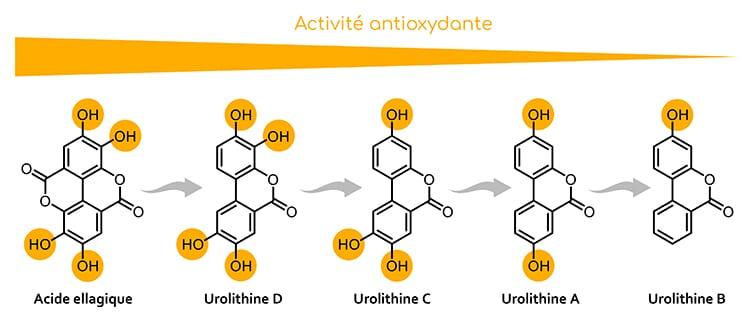 Ellagitanins : activité antioxydante