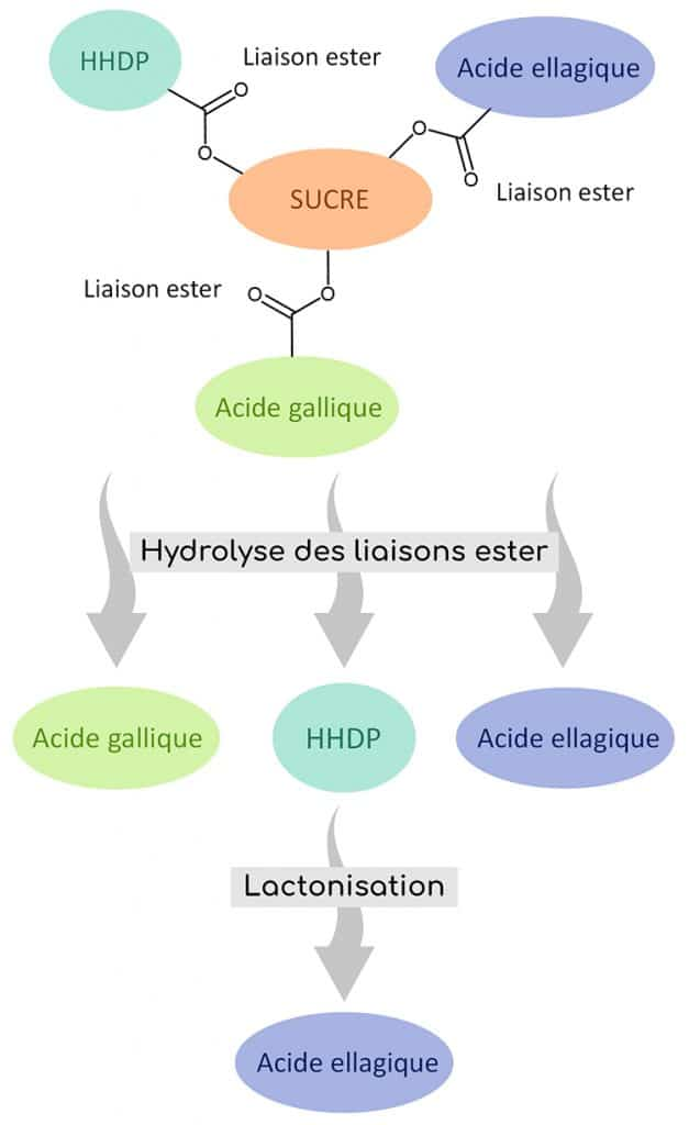 ellagitanins hydrolyse libretation acide ellagique