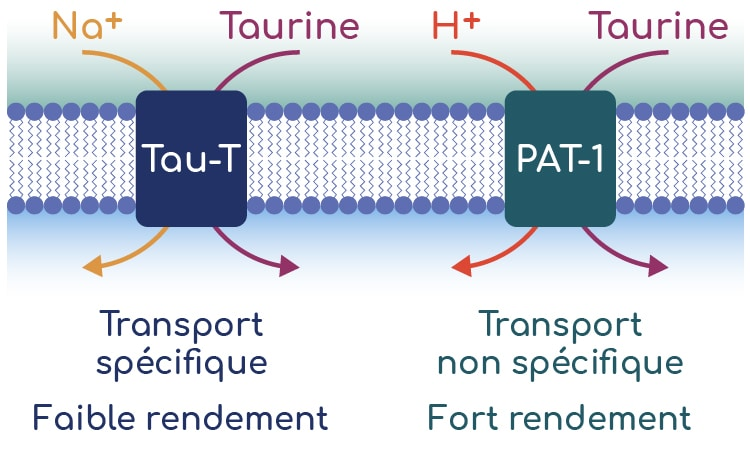 transport transmembranaire de la taurine