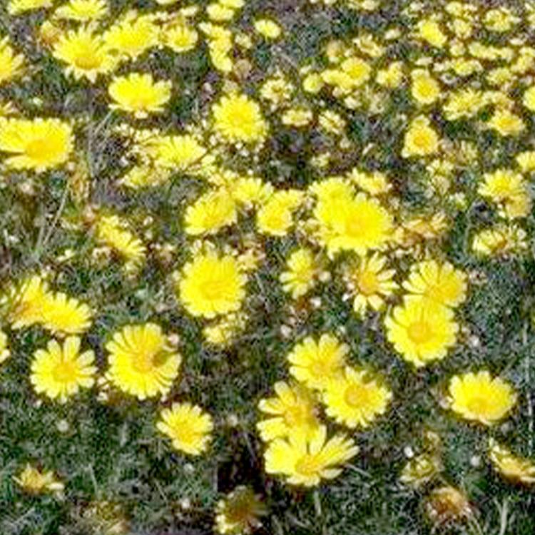 Chrysanthellum Americanum plantes detox detoxification foie