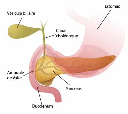 Duodénum estomac vésicule biliaire pancréas
