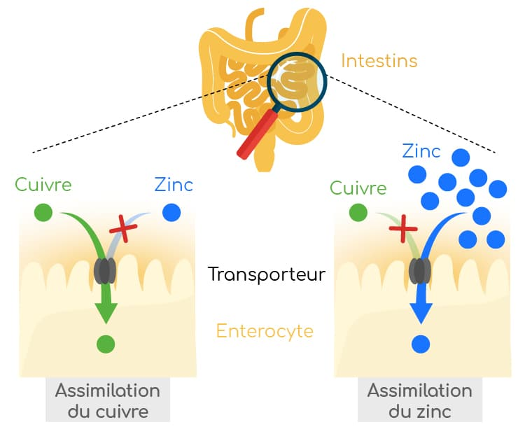 competition zinc cuivre assimilation intestinale nutrixeal info