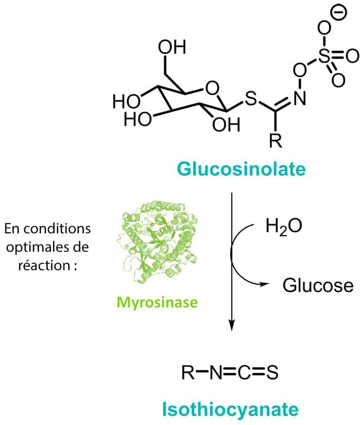 degradation des glucosinolates et isothiocyanates