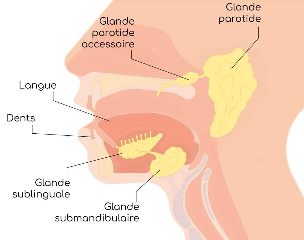 glandes salivaires nutrixeal info-01