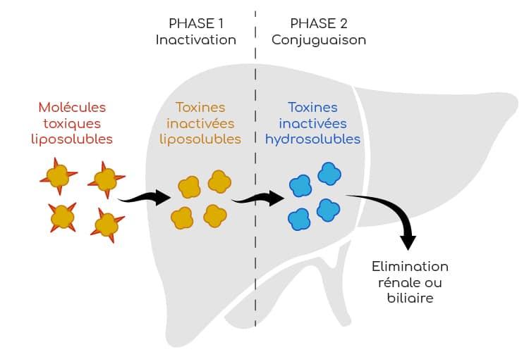 mecanisme de detoxification du foie