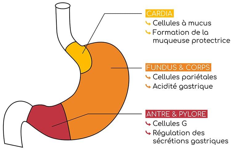 Muqueuse gastrique et structure de l'estomac.