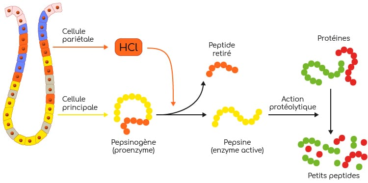 pepsine et pesinogene mecanisme