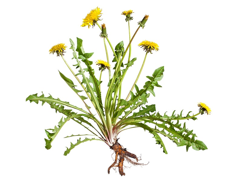 Pissenlit : plante entière