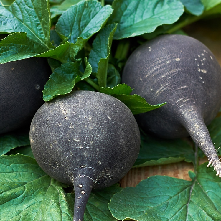 radis noir plantes detox detoxification foie