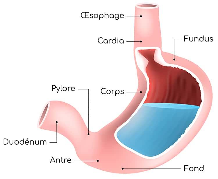 Structure de l'estomac