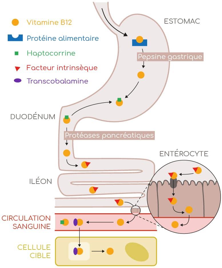 absorption vitamine B12 Nutrixeal Info