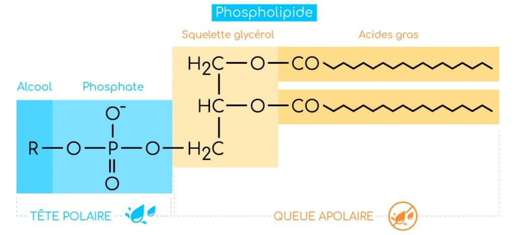 structure phospholipides nutrixeal info